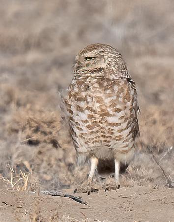Burrowing Owls -2021