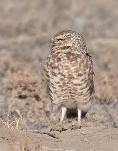 Burrowing Owl 21-2