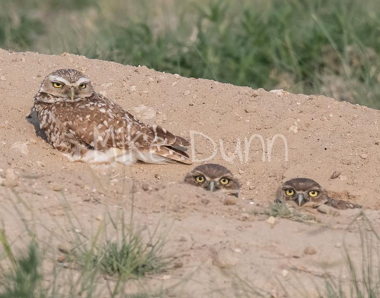 Burrowing Owl 21-20