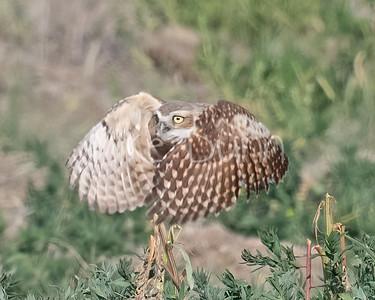 Burrowing Owl 21-41