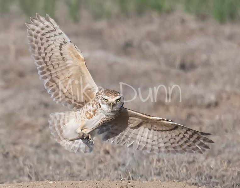 Burrowing Owl 21-6