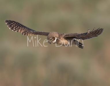 Burrowing Owl 21-57