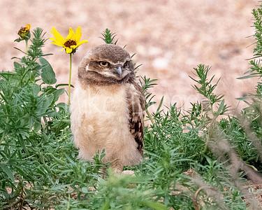 Burrowing Owl 21-47