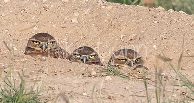 Burrowing Owl 21-33