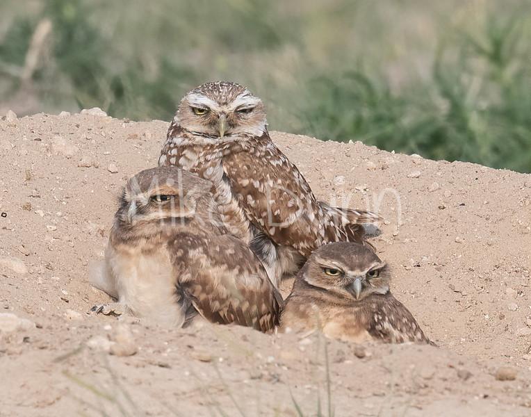 Burrowing Owl 21-25