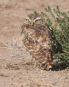 Burrowing Owl 21-65
