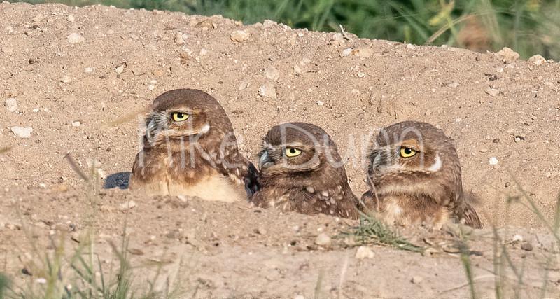 Burrowing Owl 21-34
