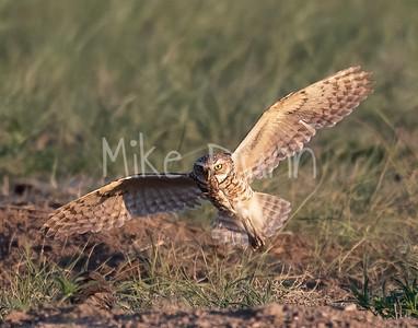 Burrowing Owl 21-11