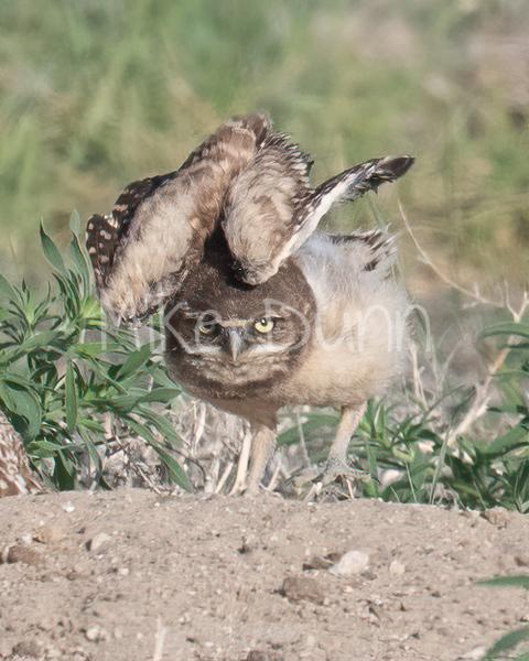 Burrowing Owl 21-14