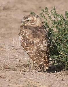Burrowing Owl 21-66