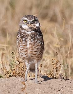 Burrowing Owl 21-77