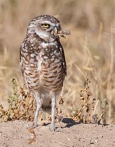 Burrowing Owl 21-76