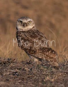 Burrowing Owl 21-42