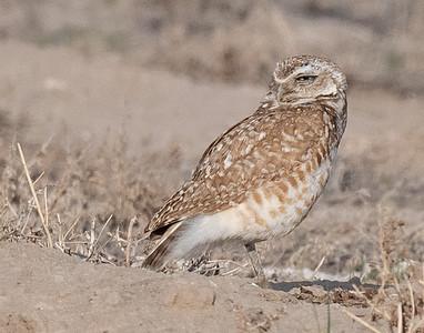 Burrowing Owl 21-3