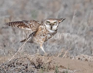Burrowing Owl 21-5