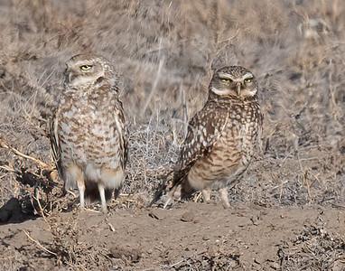 Burrowing Owl 21-1