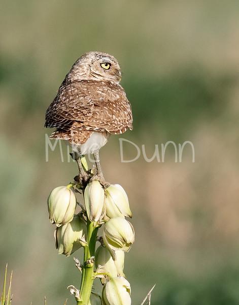 Burrowing Owl 21-10