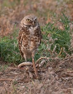 Burrowing Owl 21-55