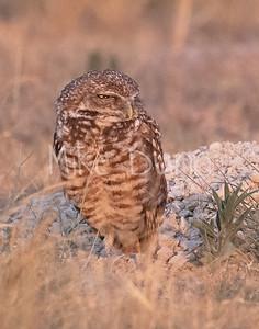 Burrowing Owl 21-28