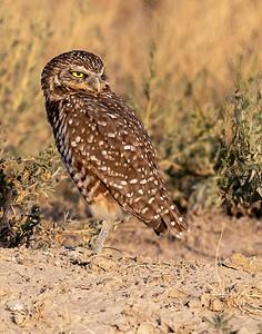 Burrowing Owl 21-75