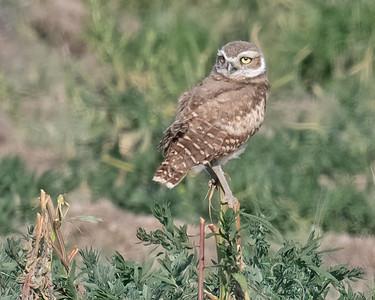 Burrowing Owl 21-39