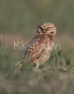 Burrowing Owl 21-36