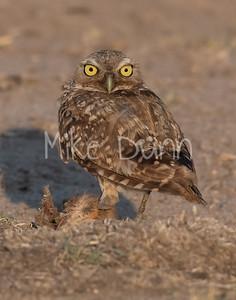 Burrowing Owl 21-43