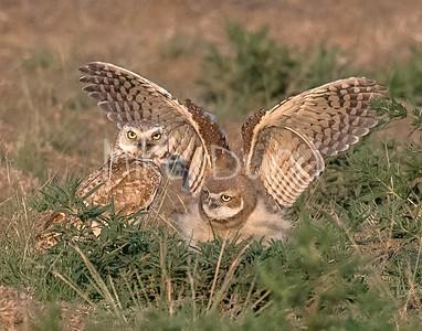 Burrowing Owl 21-52