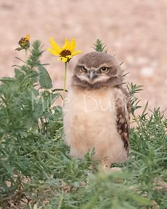 Burrowing Owl 21-48