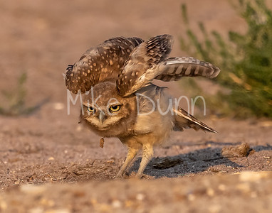 Burrowing Owl 21-68