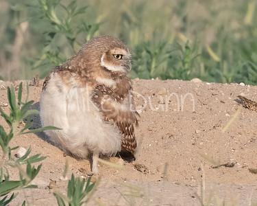 Burrowing Owl 21-44