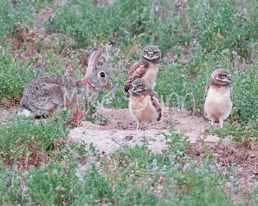 Burrowing Owl 21-53