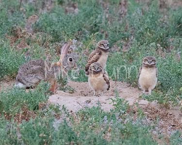 Burrowing Owl 21-54