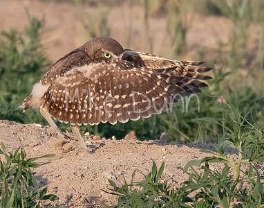 Burrowing Owl 21-19