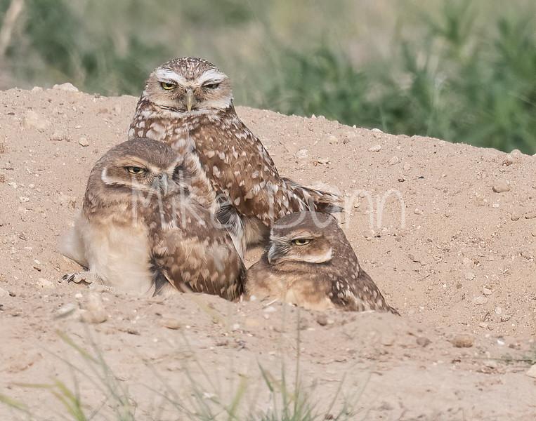 Burrowing Owl 21-24