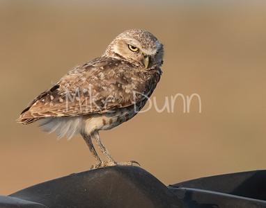 Burrowing Owl 21-38
