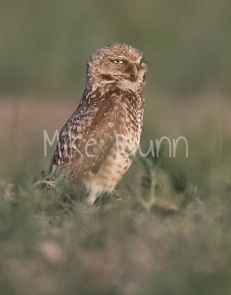 Burrowing Owl 21-35