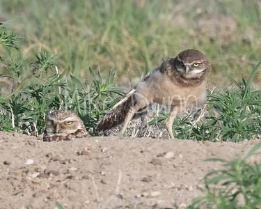 Burrowing Owl 21-13