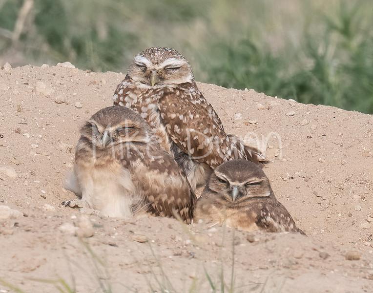 Burrowing Owl 21-23