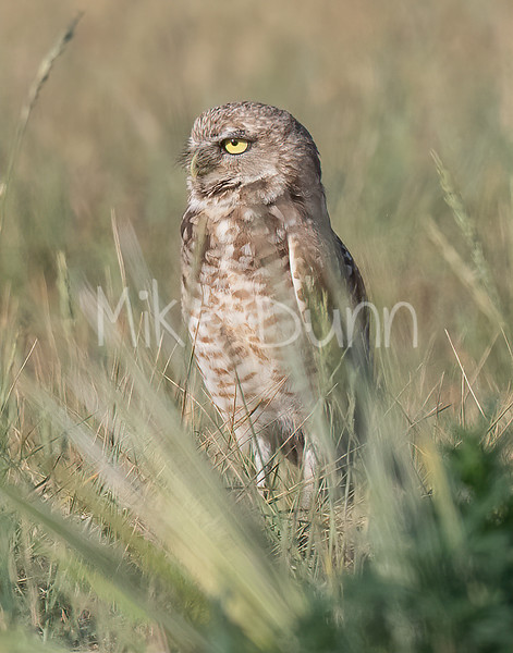 Burrowing Owl 21-16