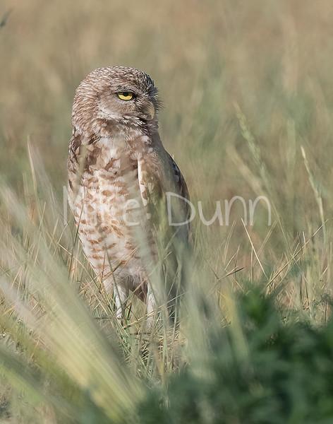 Burrowing Owl 21-15