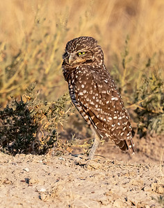 Burrowing Owl 21-74
