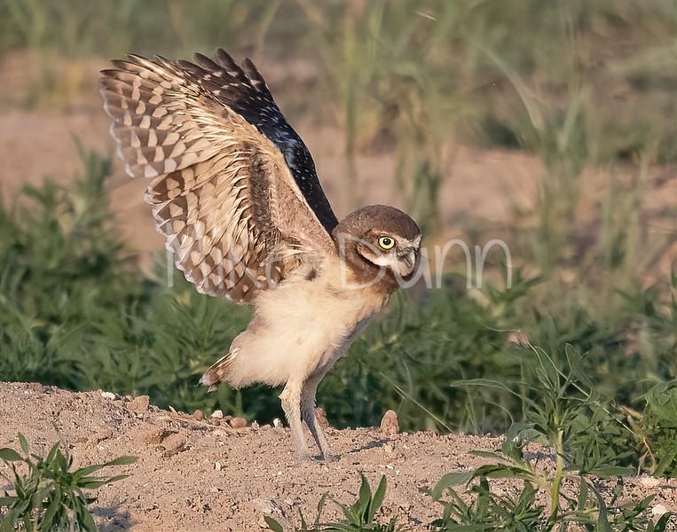 Burrowing Owl 21-17