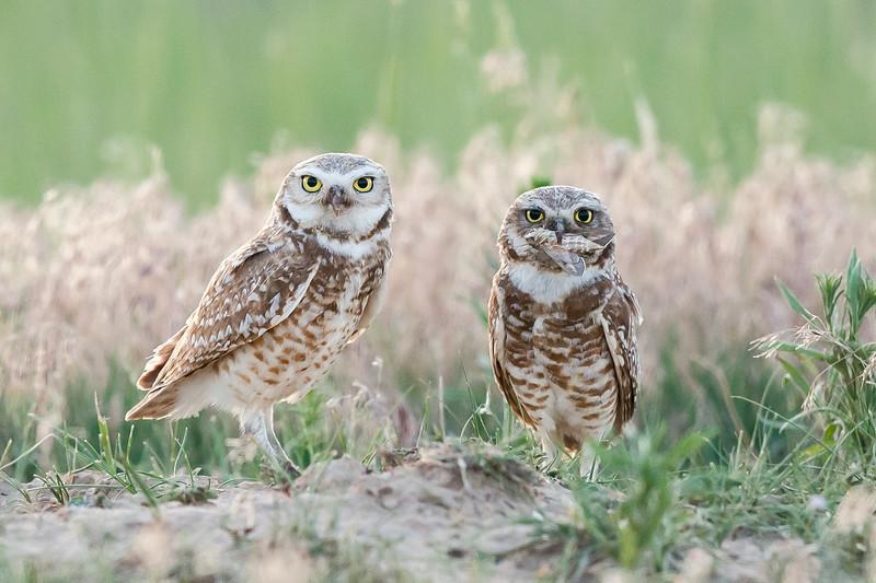 Burrowing Owls Greeley, CO