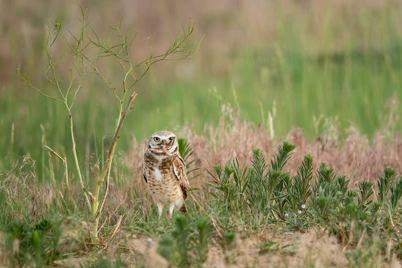 Burrowing Owl Greeley, CO