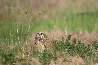 Burrowing Owl Greeley, CO