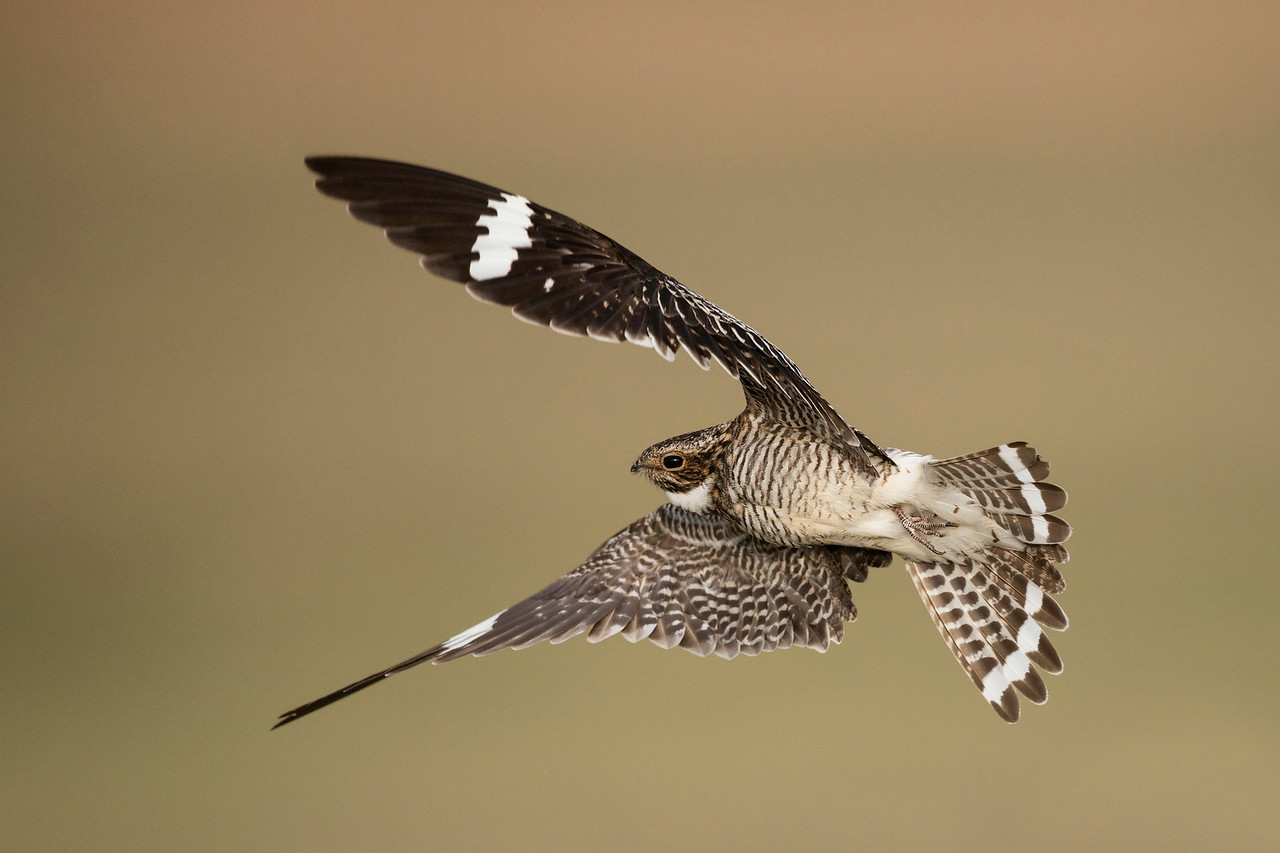 Common Nighthawk Pawnee Grasslands, CO