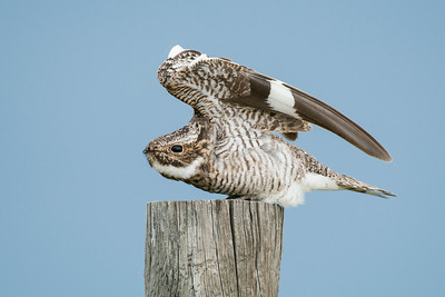 Common Nighthawk Pawnee Grasslands, CO