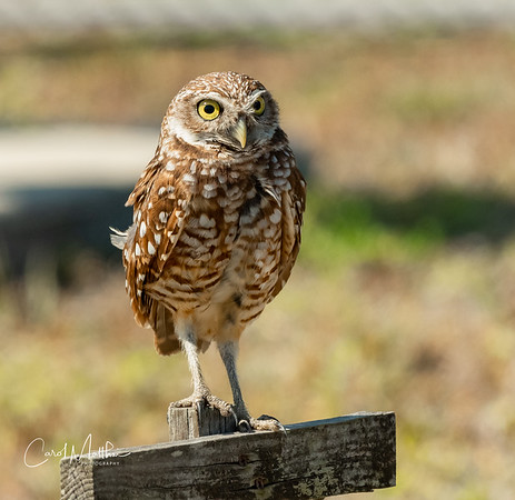 Adult Burrowing Owl looking out