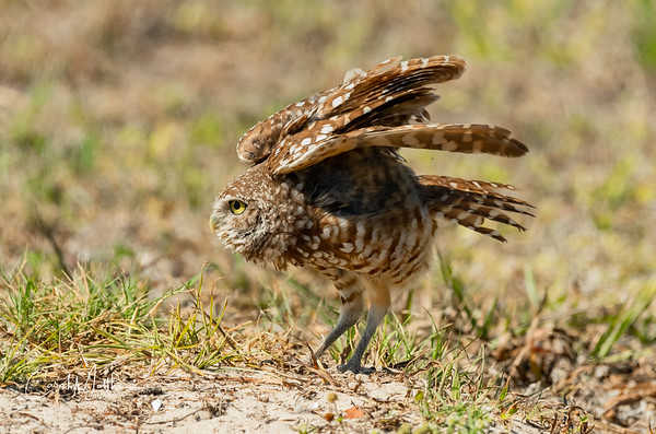 Burrowing owl ready for liftoff-2